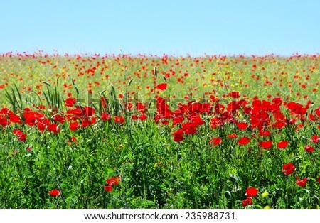 Poppies in field of alentejo  region, Portugal.  - stock photo