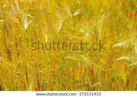 Poppies in the wheat field - stock photo