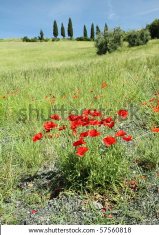 poppies in tuscan countryside, Italy - stock photo