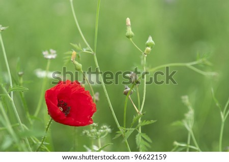 Poppies on a green meadow - stock photo