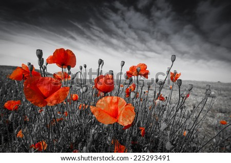 poppies on a meadow - stock photo