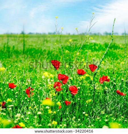 poppies on green field - stock photo