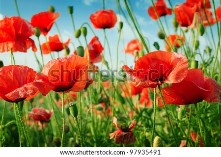 poppies on green field