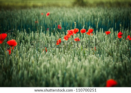 poppies on green rye field - stock photo