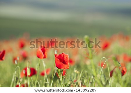 Poppies on green summer field