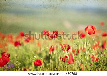 Poppies on green summer field in the sunset  - stock photo