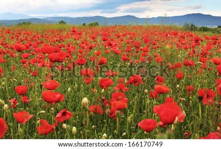 Poppies on mountain meadow - stock photo