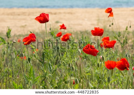 Poppies on the coast 3