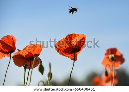 Poppies outdoor with bee