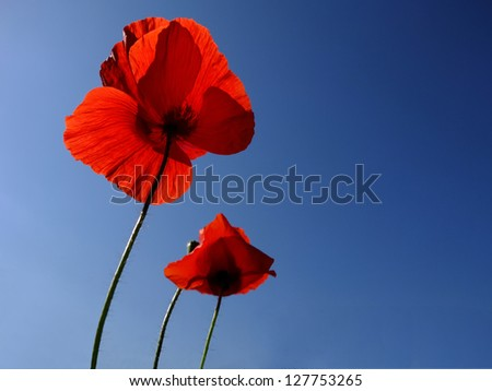 Poppies over blue sky