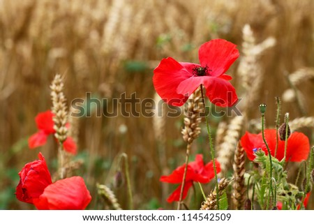 Poppies / Poppy flowers in corn field - for Remembrance Day. - stock photo