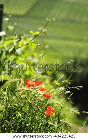 Poppies withe vineyards on background