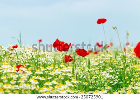 poppy and chamomile wild flowers spring season - stock photo