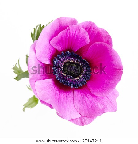 Poppy Anemone - stock photo