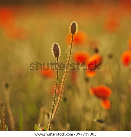 Poppy buds at sunset. Closeup image