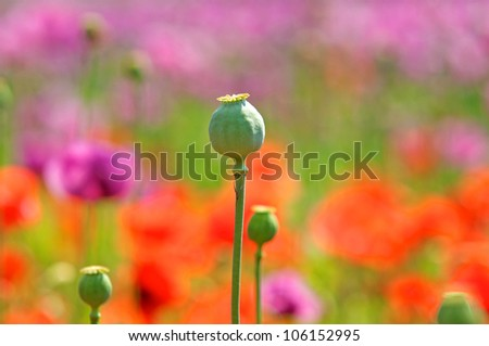 poppy capsules on a soft colorful background