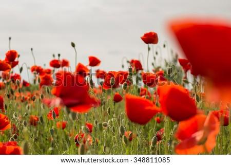 Poppy field - stock photo
