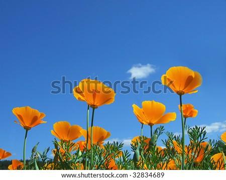 Poppy field and sky - stock photo