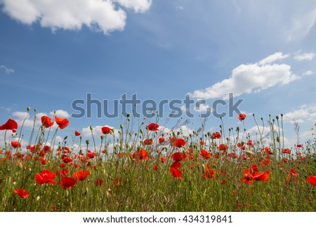 Poppy field, blue sky and white clouds