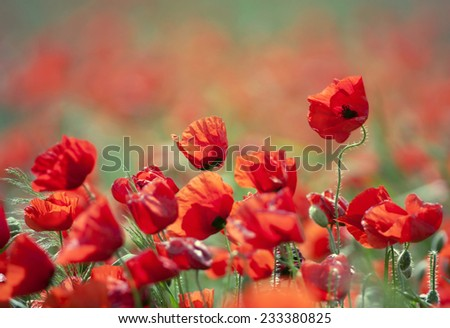 Poppy field in countryside in Summer - stock photo