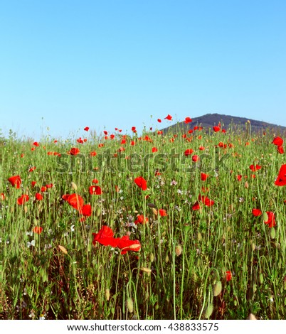 Poppy field in summer. Red poppy flowers in foreground and mountain on blue sky in background. Landscape with nice vivid poppy field. Beautiful colorful nature landscape. - stock photo