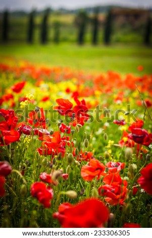 Poppy field in Tuscany, spring time, cypress trees and green landscape with flowers - stock photo
