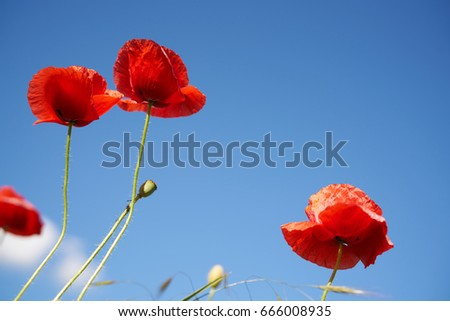 Poppy field, poppies
