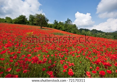 poppy field with bush and blue sky - stock photo