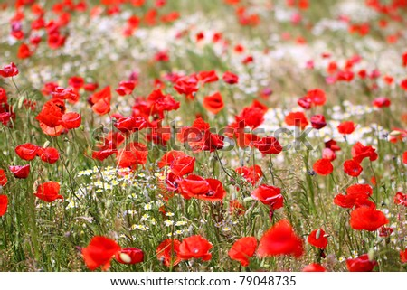 Poppy field with chamomile, also spelled camomile - stock photo