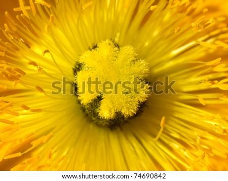 Poppy Flower - stock photo