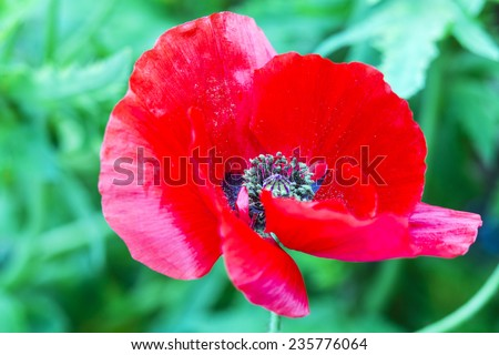 Poppy flower poppy flower full bloom stock photo royalty free poppy flower a poppy flower in full bloom the poppy plant is the source mightylinksfo Image collections