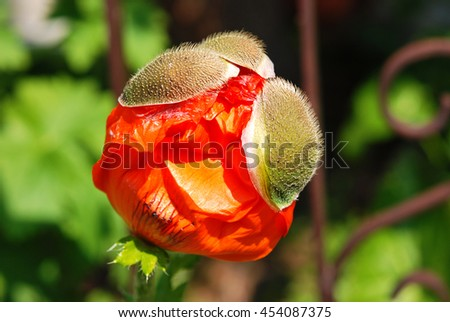 Poppy flower and buds.