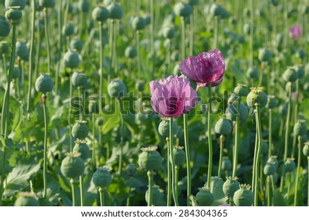 Poppy flower and green cocoons in field, spring - stock photo