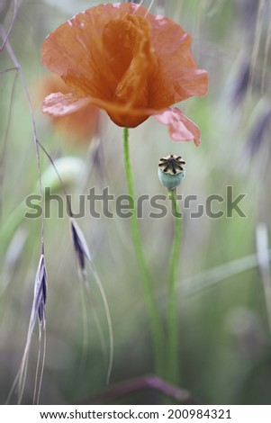 poppy flower, background with poppies or corn rose flowers. These vibrant red wildflowers grow on meadows and fields during spring and summer. blooming floral and seed bud - stock photo