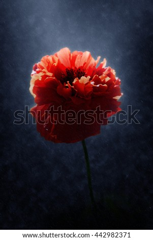 Poppy flower blooming in the rains. - stock photo