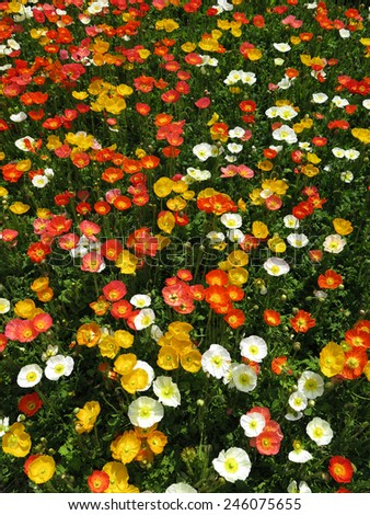 poppy flower field from top view  - stock photo