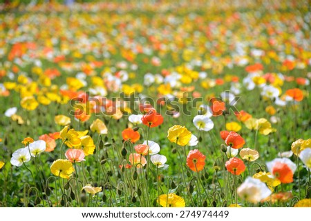 poppy flower field in spring