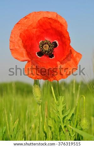 Poppy flower growing in wheat field - stock photo