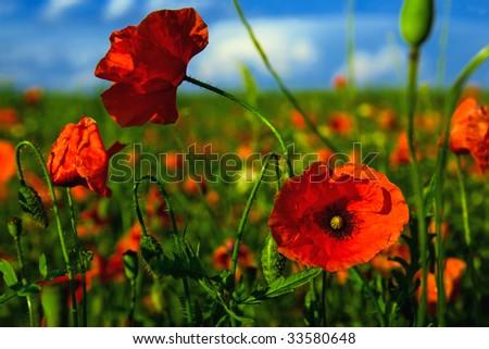 Poppy flower in a field of poppies - stock photo
