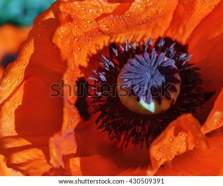 Poppy flower in the garden.Focus. - stock photo