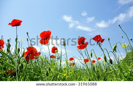 Poppy flower in the sky