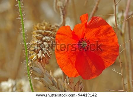 Poppy Flower in Wheat Field - stock photo