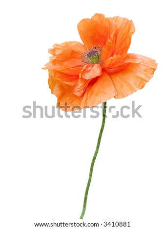 Poppy flower isolated on white - stock photo