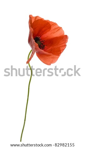 Poppy flower isolated on white background - stock photo