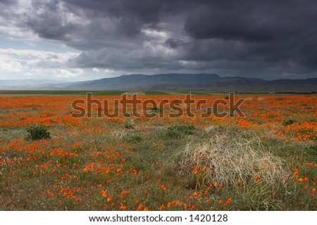 poppy flower meadow with storm clouds - stock photo