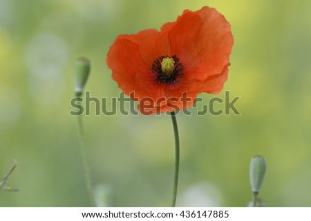 Poppy flower on a field - stock photo