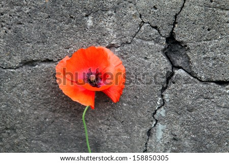 Poppy Flower on the cracked stone wall background - stock photo