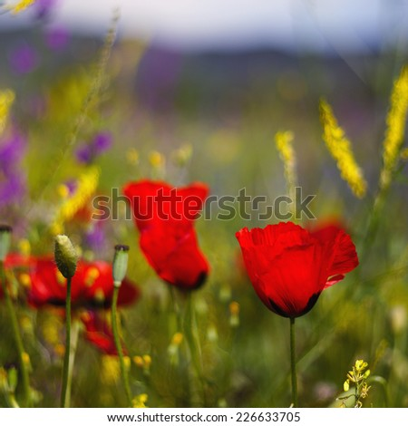 Poppy flower on the meadow closeup - stock photo