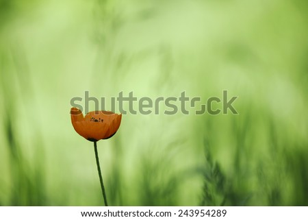 Poppy flower (Papaveraceae) close-up - stock photo