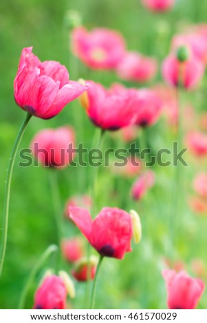 Poppy flowers and green grass landscape. Selective focus. Shallow DOF